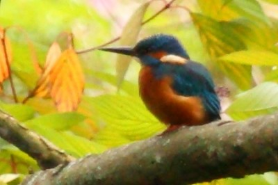 kingfisher1
